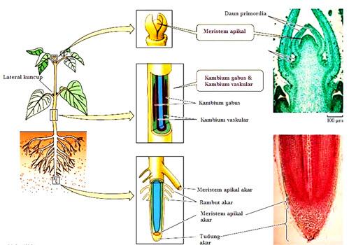 Struktur Dan Fungsi Jaringan Pada Tumbuhan Pojok Cerdas